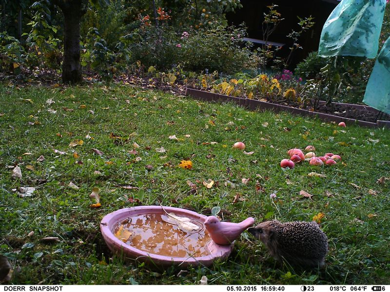 Igel beschnuppert seltenen Tonfink