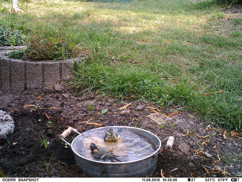 erstes Bad junger Meisen