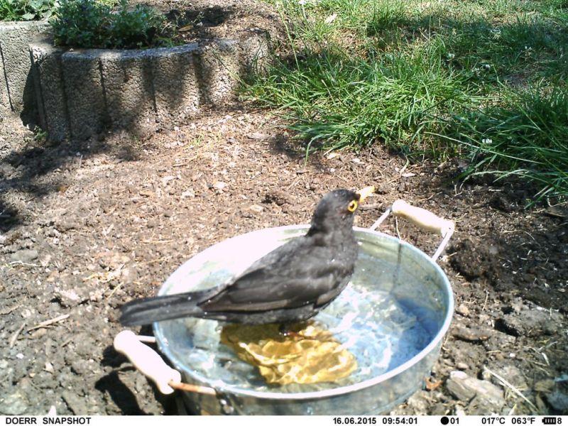 Amsel badet