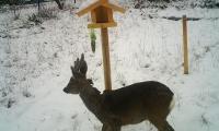 junger Rehbock beim jährlichen Besuch der Gartenanlage