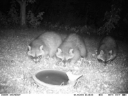 Waschbärfamilie beim Fotoshooting