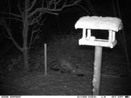 Fuchs beim Winterspaziergang